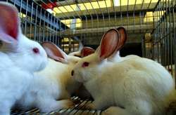 Las Granjas Gallegas De Conejos Deben Adaptar Ya Sus Instalaciones