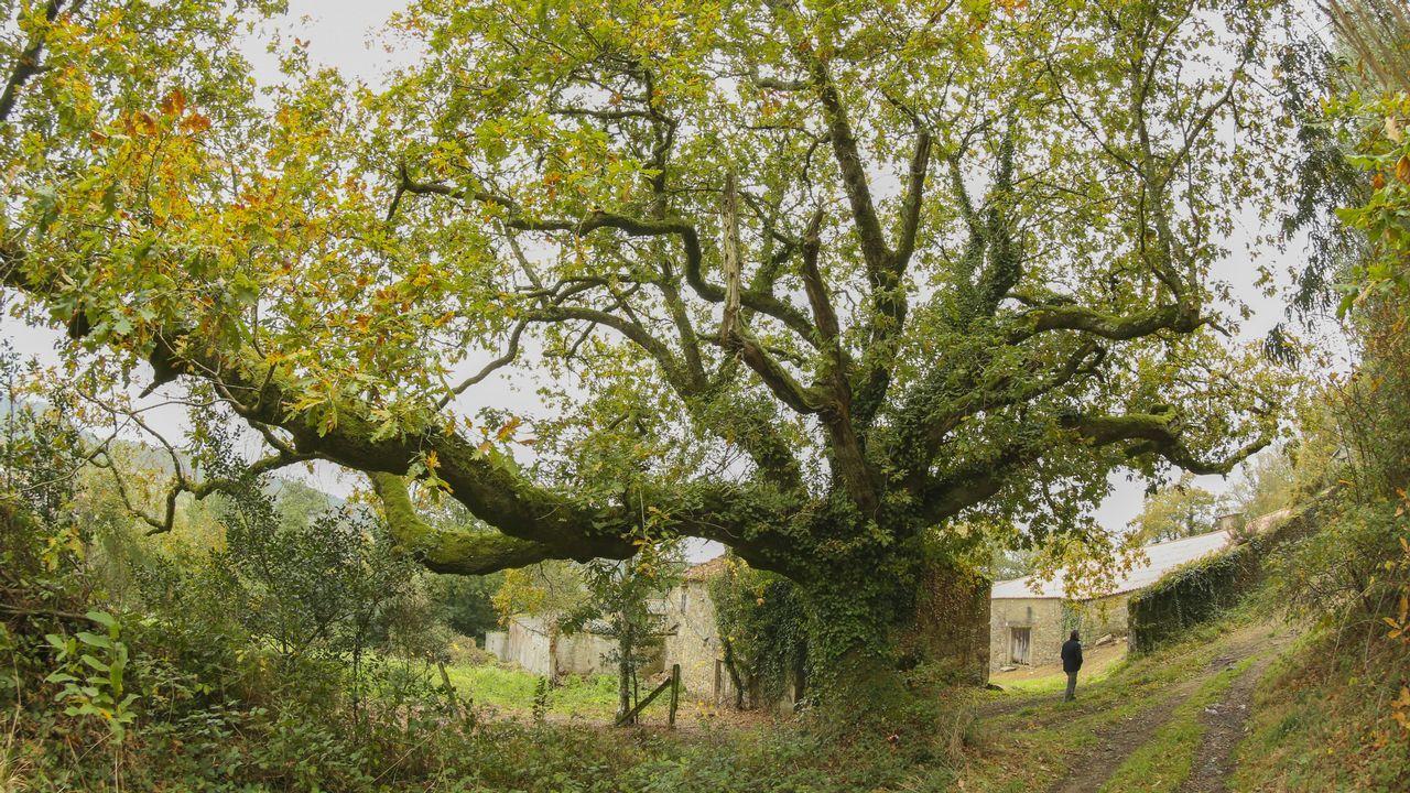 Resultado de imagen de carballo arbore