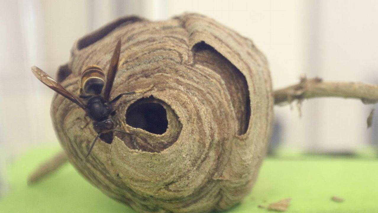 Protección Civil retira un nido de avispa velutina del