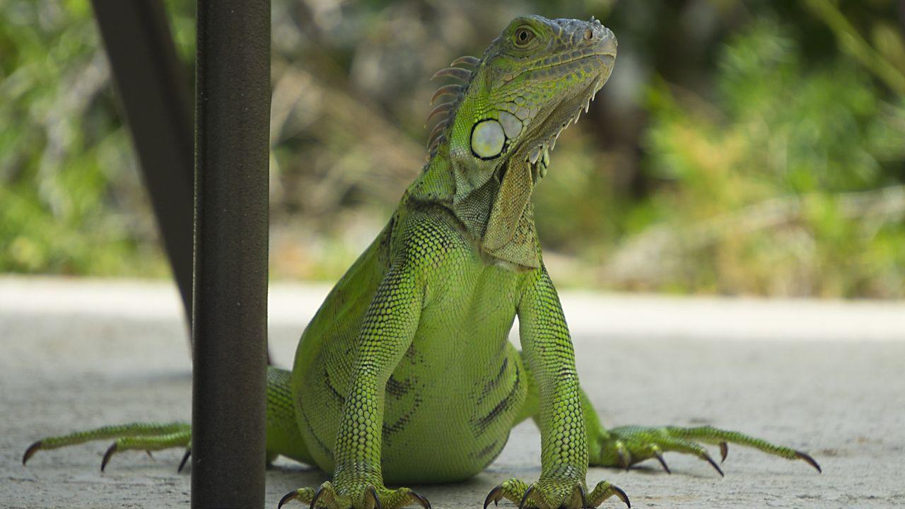 """Resultado de imagen de lluvia de iguanas"""" en Florida"""