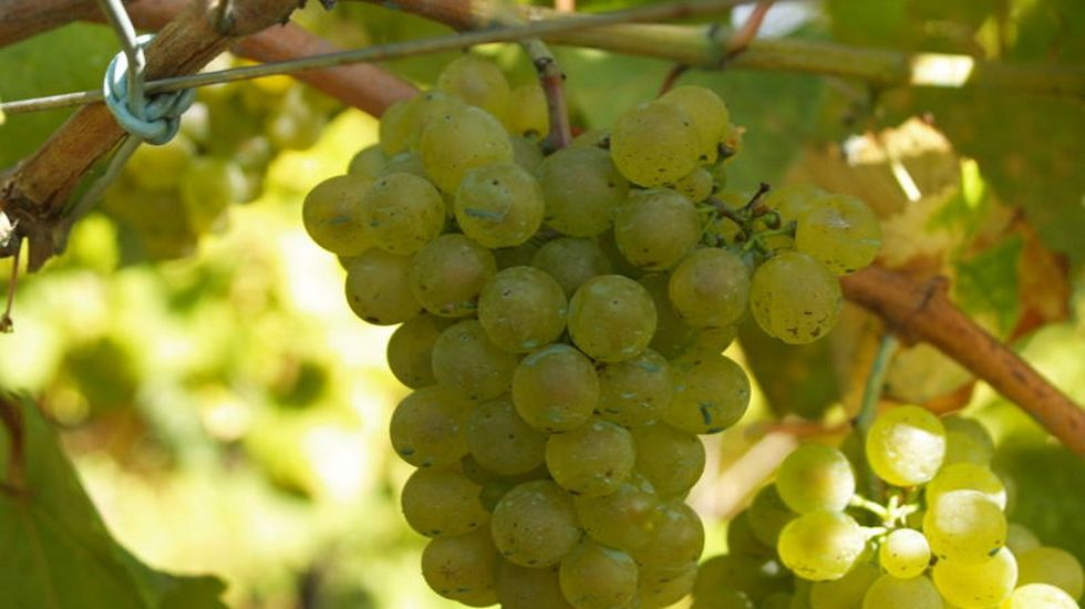Actividades turísticas para el otoño en la Ribeira Sacra.Uvas de la variedad branco lexítimo, que comienza a recuperarse en la Ribeira Sacra