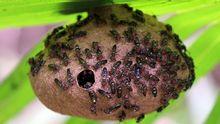 «Polybia paulista»: Avispa sudamericana cuyo veneno podría servir como antibiótico. También se estudia para eliminar tumores