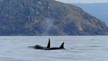 Orcas en Fisterra