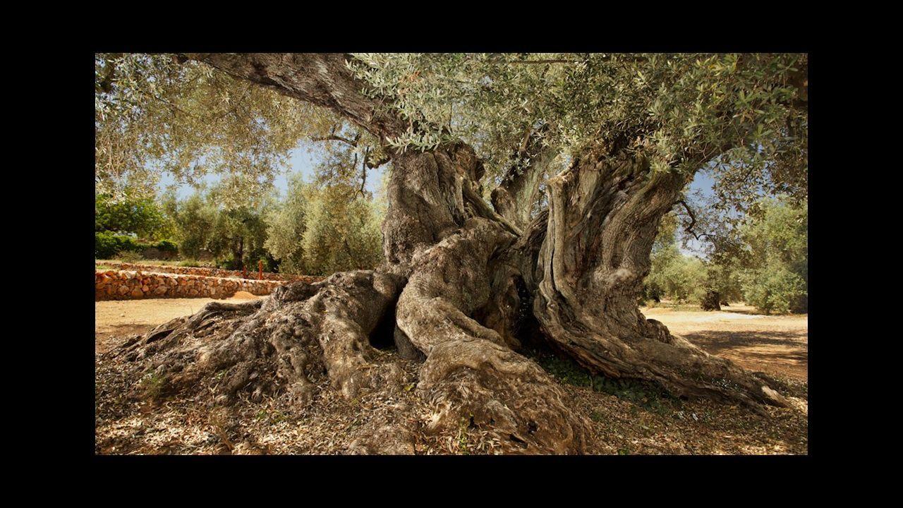 Olivo Tarragona. Ulldecona (Tarragona) El olivo milenario la Farga del Arión es propiedad de una familia que elabora aceite. Según la Universidad Politécnica de Madrid tiene 1.704 años