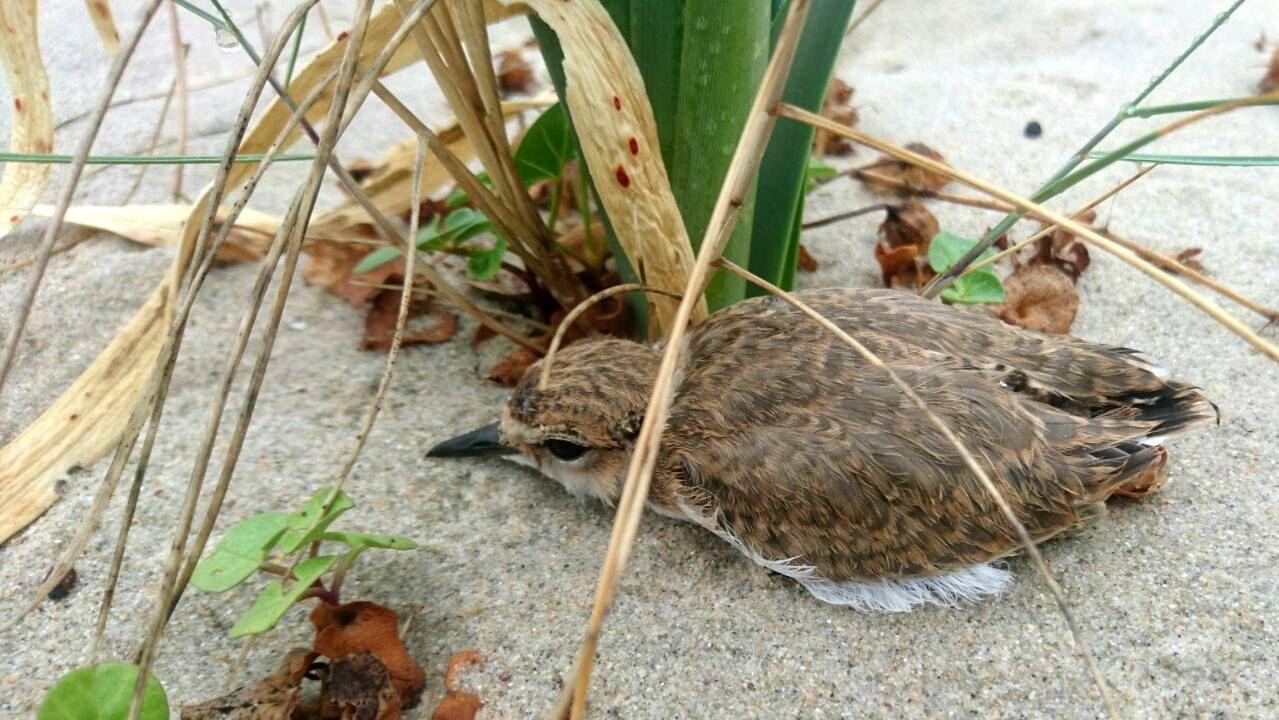 El pato criollo que vigilaba el «paseo del colesterol»
