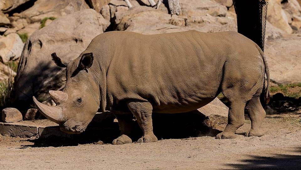 Queman cuernos de elefantes para denunciar el furtivismo.Angalifu de 44 años falleció aparentemente de viejo, según un comunicado del responsable del zoológico Safari Park Randy Rieches