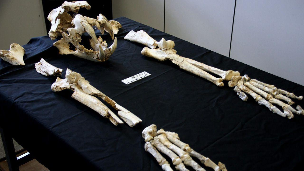 Grande y robusto: así era el león del Paleolítico descubierto en Llanes.Marcas dejadas en la pared de una cueva de la sierra de O Courel por las garras de un oso pardo, en una imagen publicada en la guía que elaboró el Instituto Universitario de Xeoloxía de A Coruña
