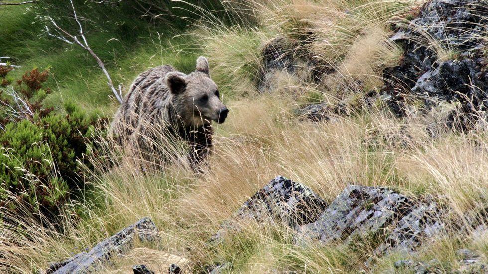 Graban un oso pardo en Os Ancares