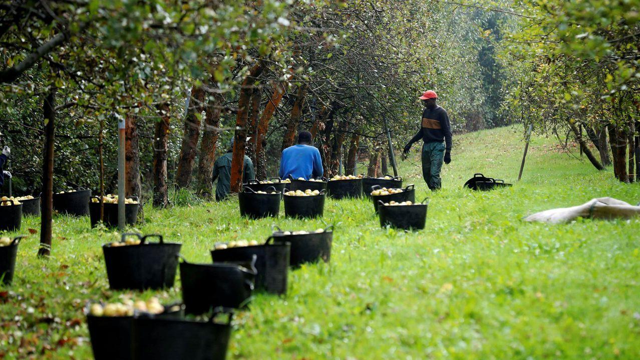 mates.Trabajadores senegaleses trabajan en Asturias en el inicio de la campaña de recogida de la manzana utilizada para elaborar sidra.