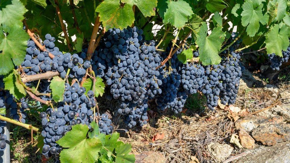 Uvas de la variedad mencía listas para vendimiar en la ribera e Pinol, en Amandi