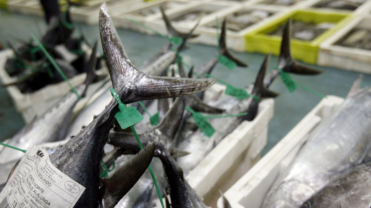 Imagen de archivo de bonito del norte en la lonja de Burela, el mayor mercado gallego de ese pescado azul fresco