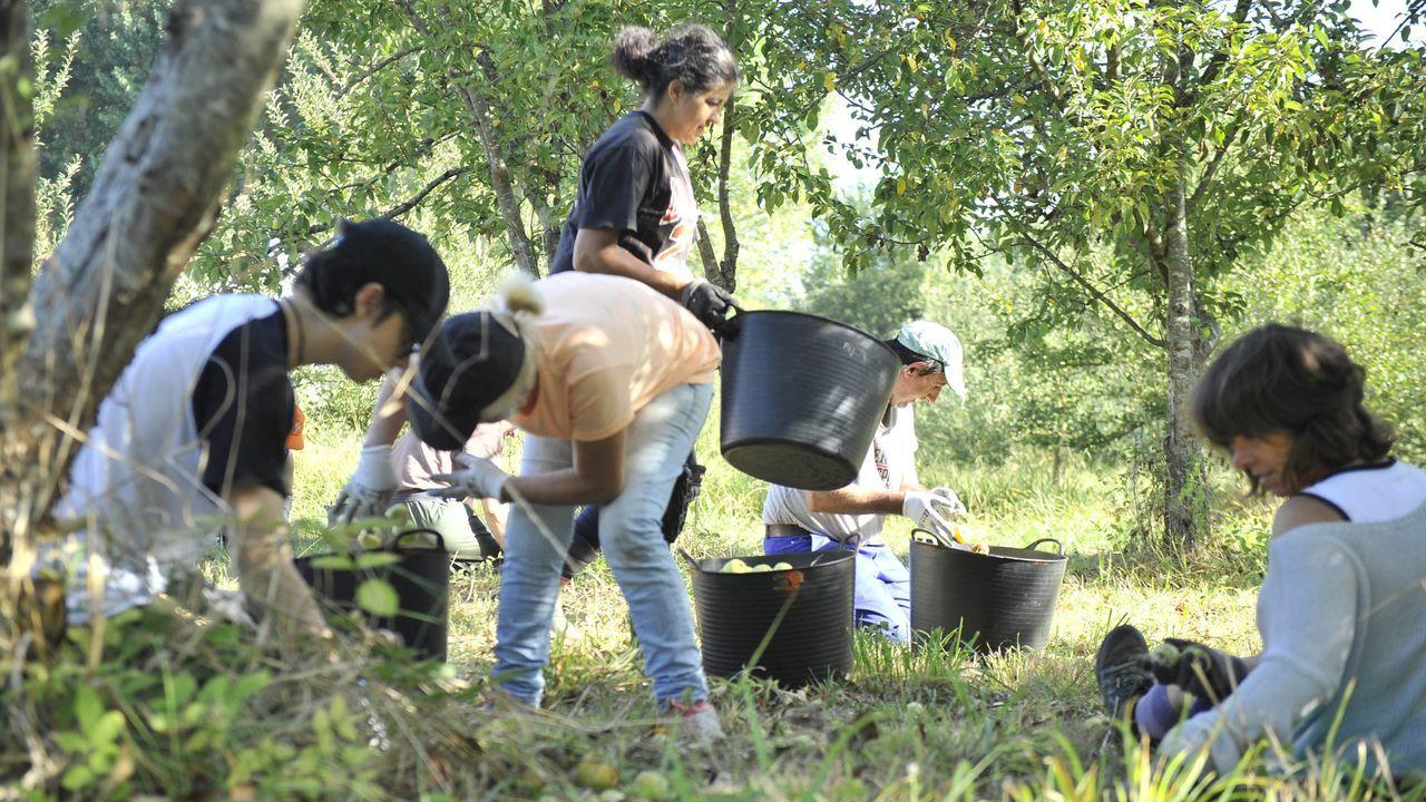 Recogida de manzana durante la campaña del año pasado en A Estrada