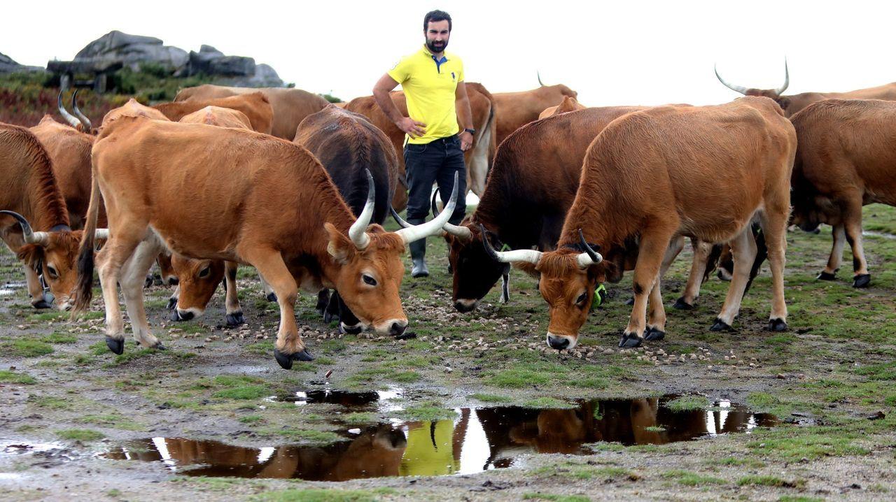 Vacunación contra el covid en Bembrive, Vigo.Vacas en el monte de Padróns el pasado mes.
