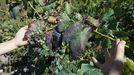 Racimo afectado por el oídio o «cinsa» en una viña de Doade, en una foto de archivo