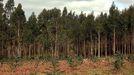 Imagen de archivo de una plantación de eucalipto
