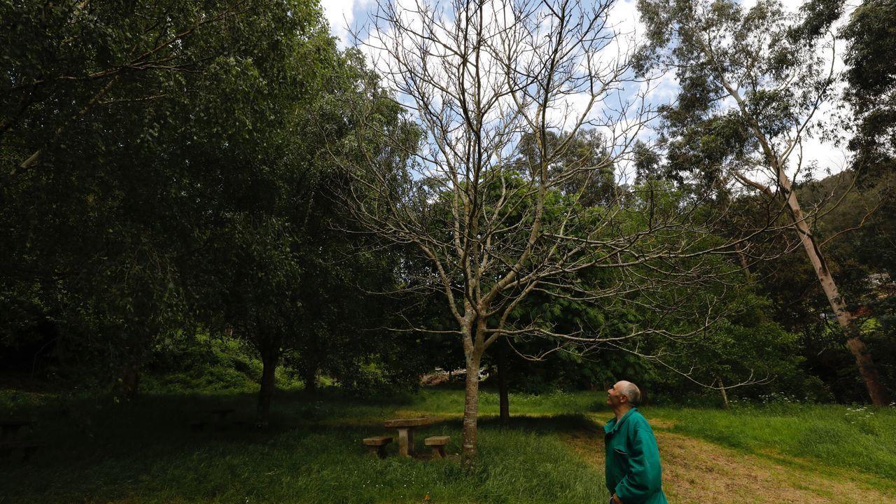 Primer tráiler oficial de «Viveiro no tempo».Algunos nogales del campo de As Nogueiras, en Viveiro, ni siquiera han florecido este año