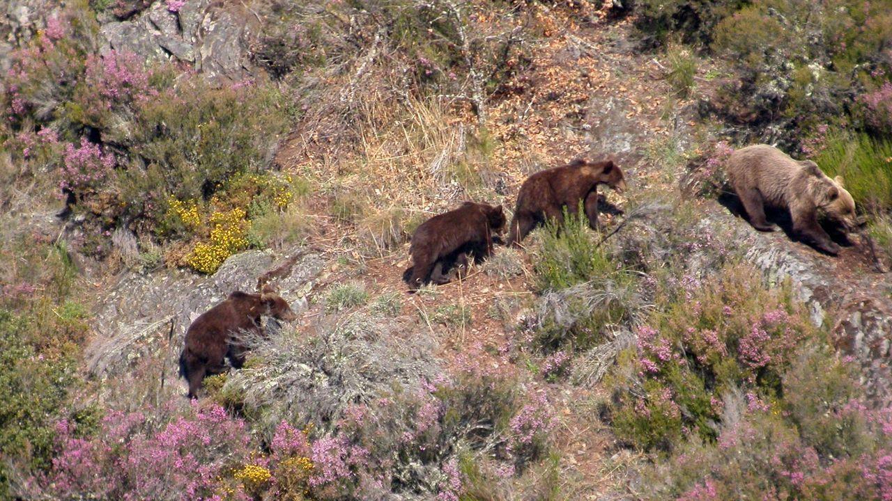 Una familia de osos pardos en la parte leonesa de la sierra de Os Ancares. La especie está presente desde hace años en esta zona y en la sierra de O Courel