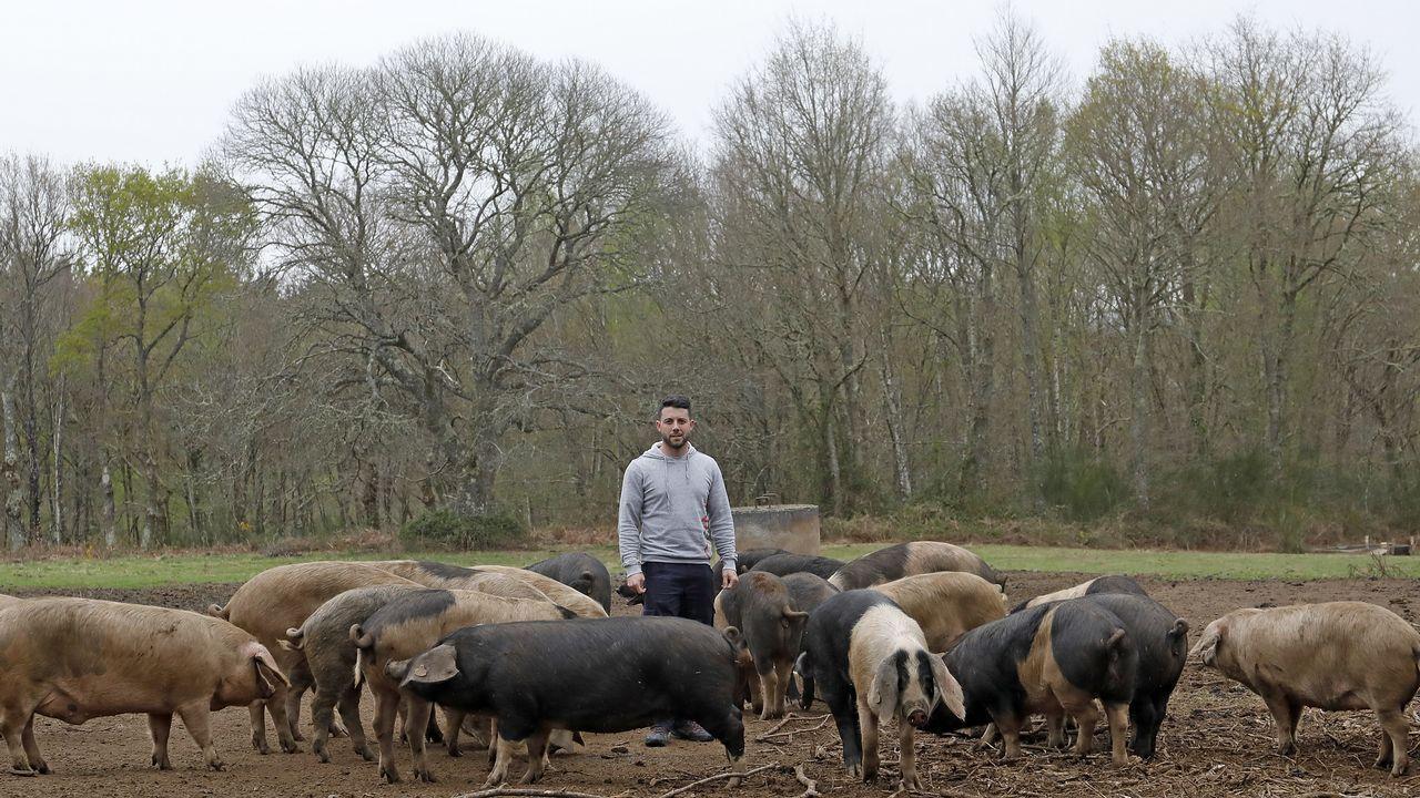 Saúl Rouco en medio de una manada de porcos celtas en Fraga do Coto