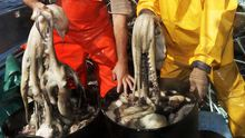 Pulpos capturados en la ría en el 2011, cuando se vendieron en las lonjas gallegas 3,4 millones de kilos, más del triple que en el 2020