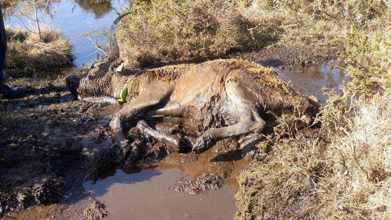 La Reserva Nacional de Caza de Os Ancares al descubierto.Lobo muerto enganchado a un lazo localizado por agentes de la BRIF Laza