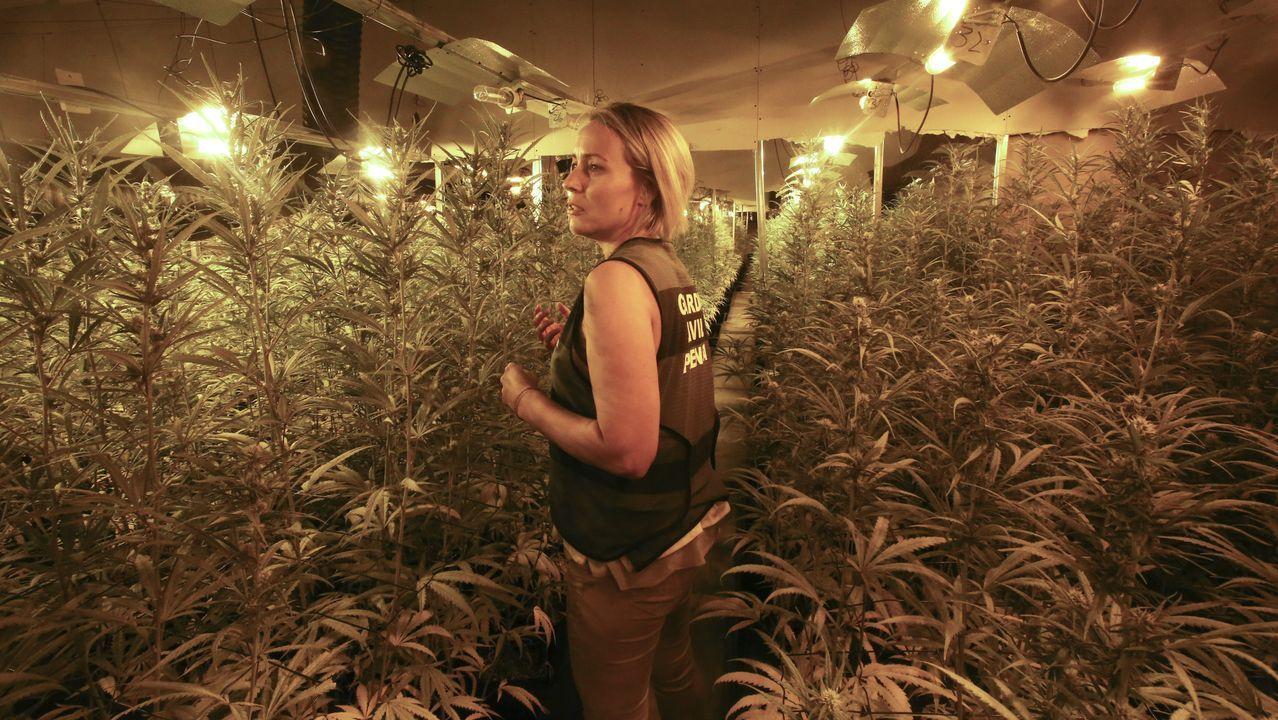 Cuatro mil plantas de marihuana en una nave industrial de As Somozas.Las nuevas farolas no tienen cristales y utilizan luces led para ahorrar energía