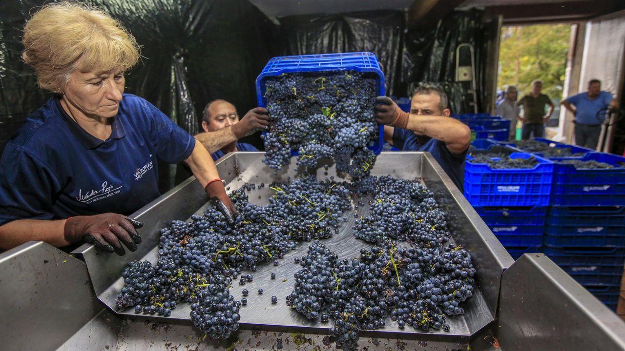 La uva se supervisa en una mesa de selección antes de entrar en las tolvas