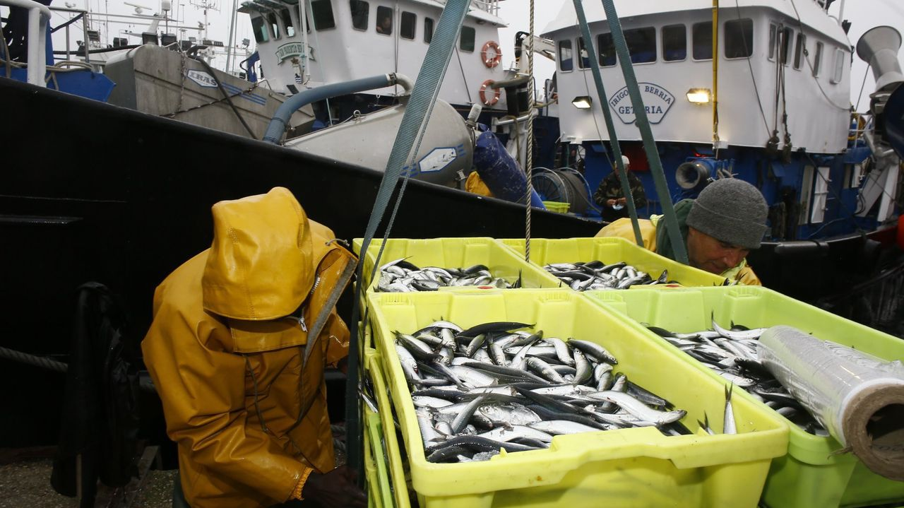 Si a la flota le cobran el doble por el combustible, Europeche pronostica un encarecimiento del pescado, como estos bocartes que descargaron cerqueros en el puerto de Burela a finales de abril