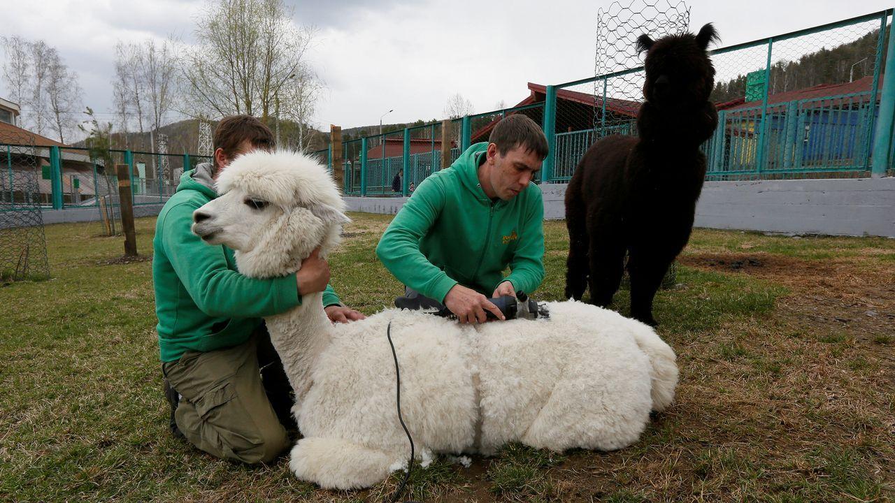 Dos empleados esquilan un ejemplar de alpaca en un zoológico de Krasnoyarsk, en Rusia