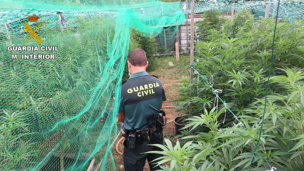 La plantación de marihuana intervenida en una finca del municipio de Barro, en Pontevedra