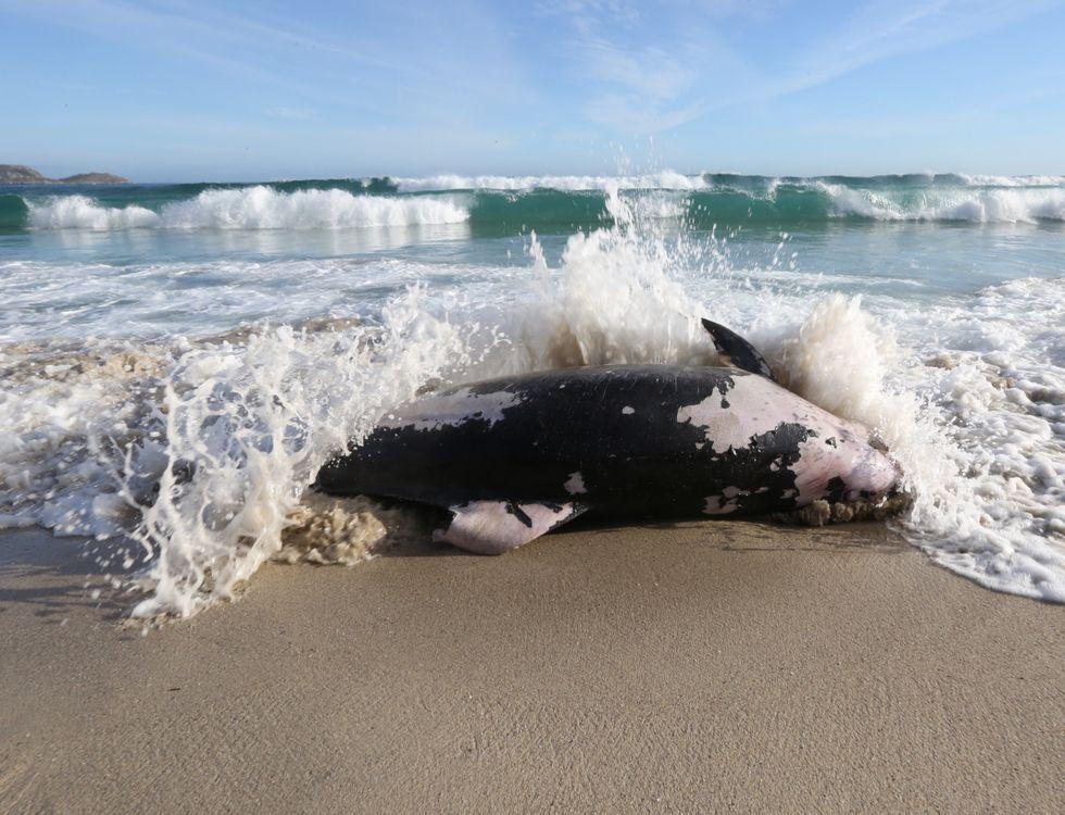Una cría de foca gris se queda atrapada en el aparejo de un pesquero cedeirés