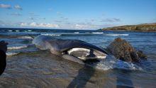 Vara una ballena de unos 13 metros en una playa a diez kilómetros de Ribadeo sin posibilidad de rescatarla