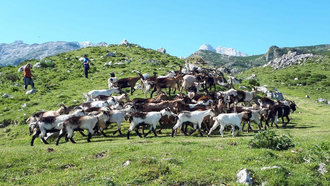 Rebaño de cabras del ganadero Enrique Remis