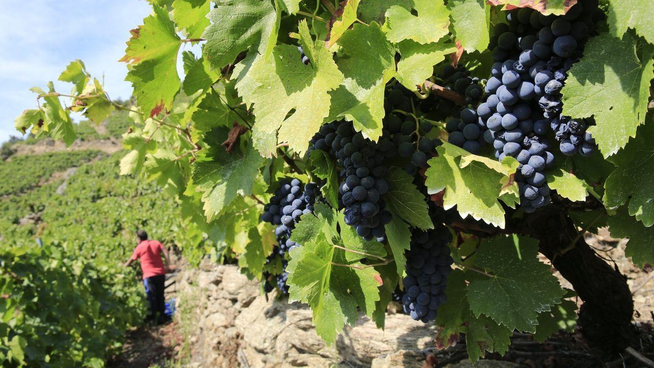 Recogida de la aceituna en el municipio de Quiroga.La uva maduró con rapidez y alcanzó un alto grado enla mayoria de las zonas