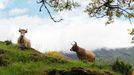 Dos vacas en la Devesa da Rogueira, cerca de la aldea de Moreda (Folgoso do Courel)