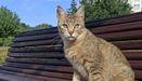 Gato esterilizado en Lugo, con un corte en la oreja