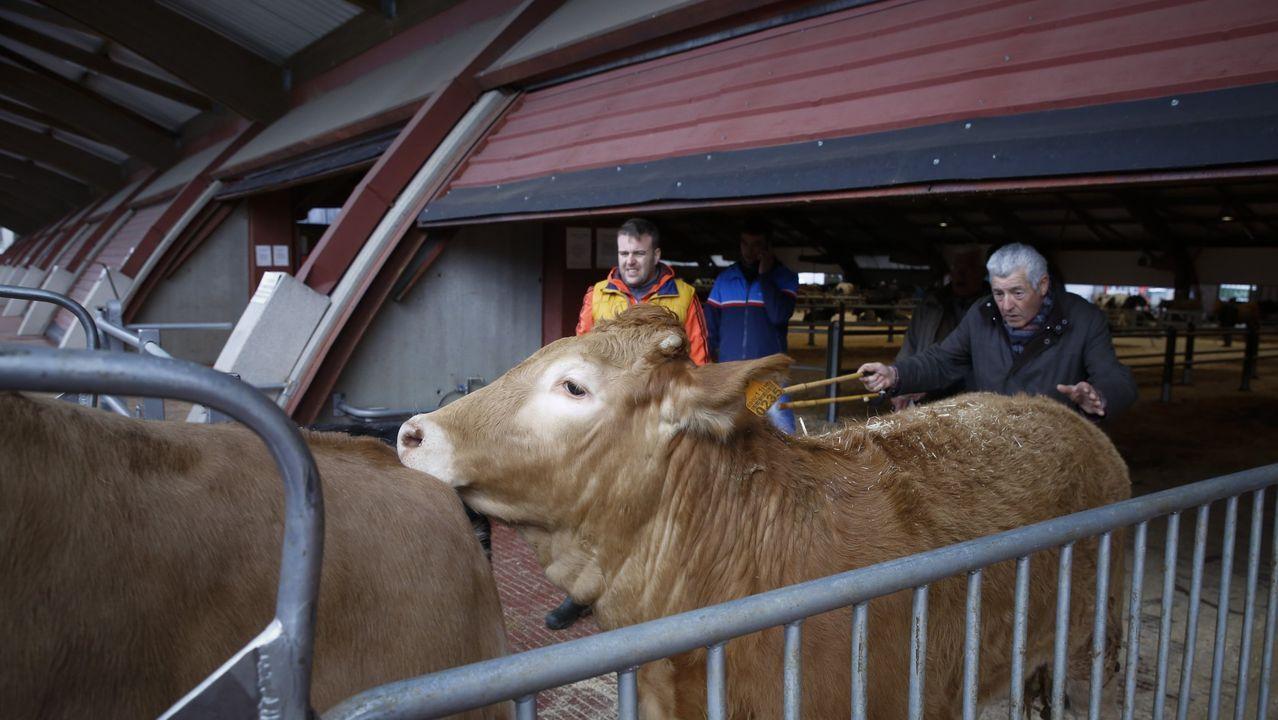 El ganado vuelve a Amio