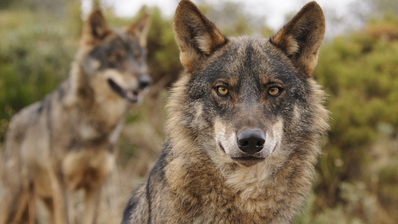 <span lang= gl >En vídeo: máis protección para o lobo en Galicia? Unha decisión necesaria ou unha medida crontraproducente?</span>