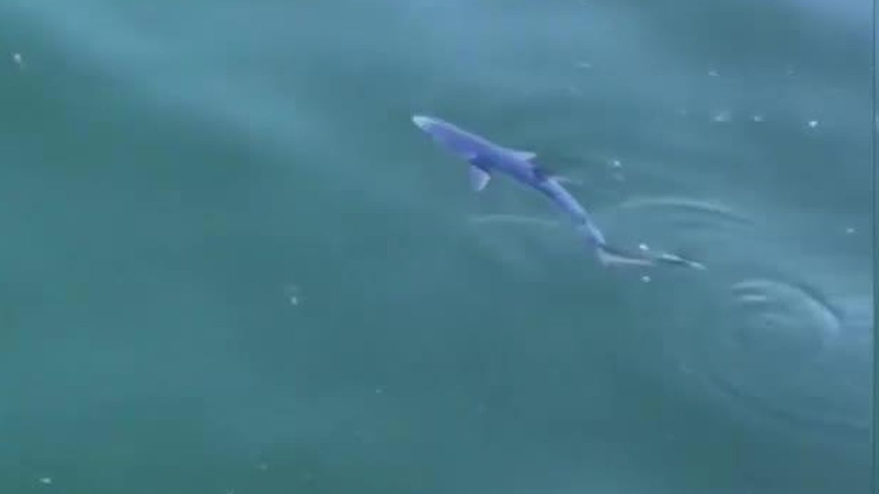 Cría de tiburón azul en el puerto de Bueu.Rocío Flores (de blanco) y Gloria Camila (de rosa), en la isla de Ons