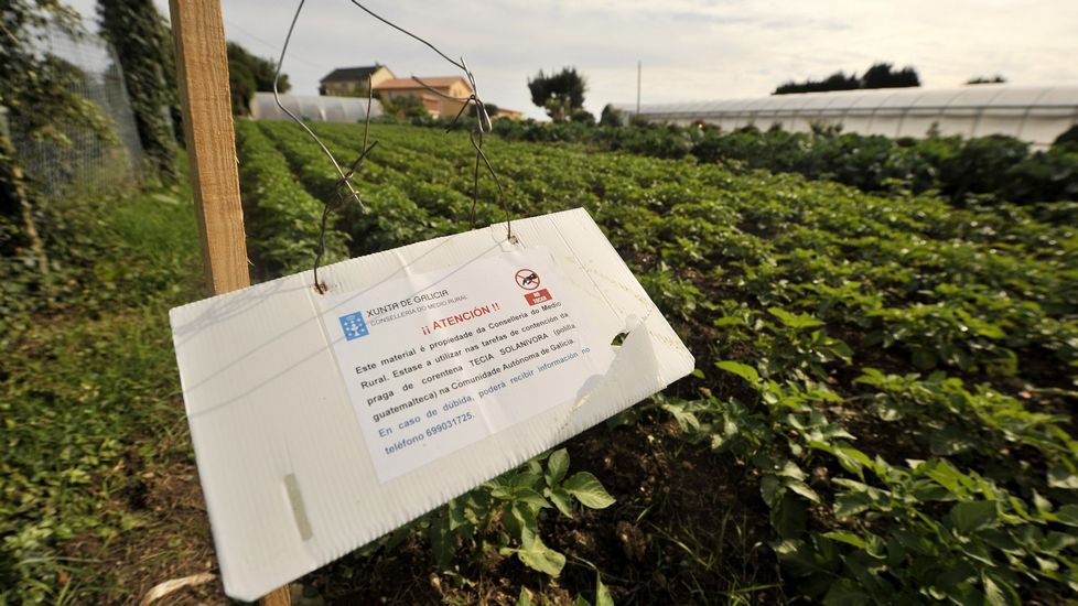 La patata de los 31 concellos con la plaga deberá ser arrancada por los agricultores.Control de la Guardia Civil sobre la patata