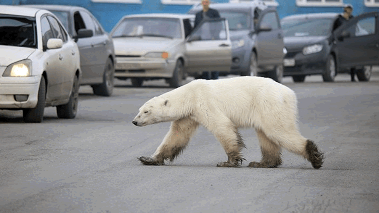 Una osa polar recorre cientos de kilómetros buscando comid
