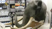 Los agentes interceptaron varias piezas, como la cabeza de un elefante disecado