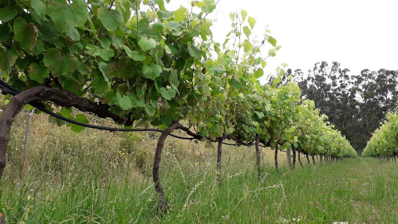 Uno de los viñedos experimentales de VinioT en Ribadumia: el proyecto se encuentra en fase experimental y concluirá en el 2023.