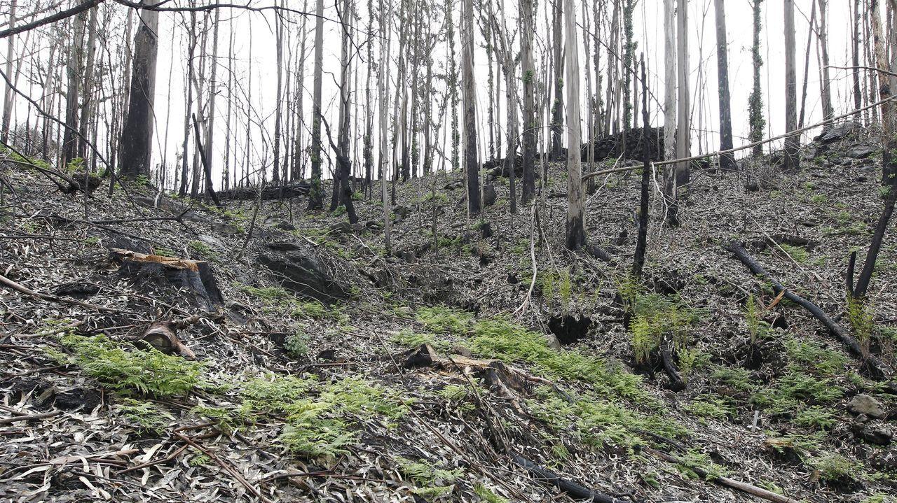 Jornada de movilización desde Ence a Pontevedra.Imagen de una plantación quemada de eucaliptos