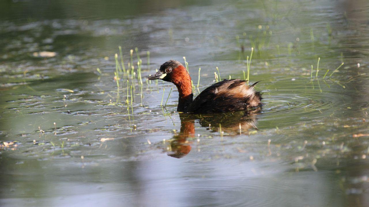 Zampullín común, un tipo de ave buceadora