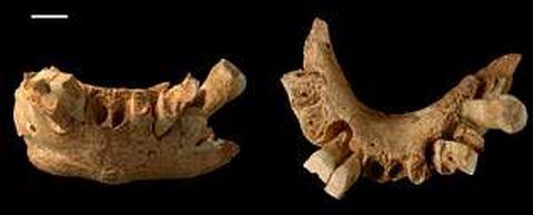La morfología interna de la mandíbula del fósil de 1,3 millones de años presenta una identidad europea.