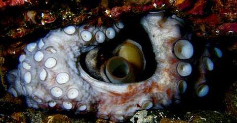 Hembra de pulpo en aguas de Cíes dentro de la guarida en la que custodia sus huevos.
