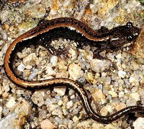 La salamandras rabilargas son muy apreciadas.