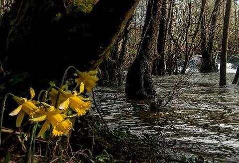 Los llamativos narcisos acampanados se ven con frecuencia al borde del río.