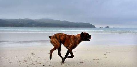Perro corriendo por la playa de Santa Comba, en una foto de archivo.