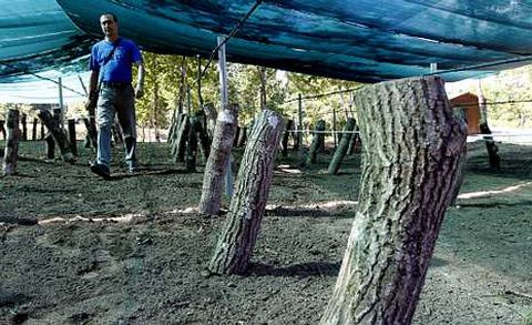 El hongo ha sido inoculado en 300 troncos procedentes de una poda de limpieza del mismo monte comunal.